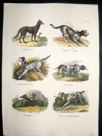 Schinz 1845 Antique Hand Col Print. English Dog, Dachshund, Newfoundland etc 17